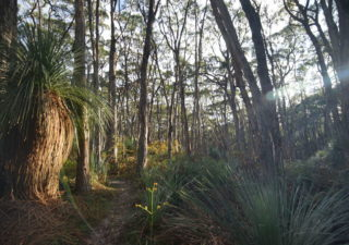 Stringybark early morning