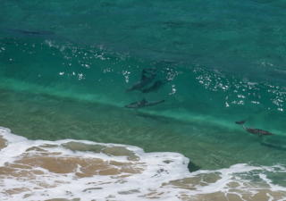 Dolphins frolicking in the azure waters