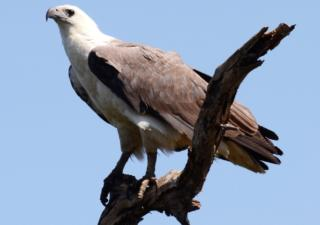 white-bellied-sea-eagle-jeff-groves-header