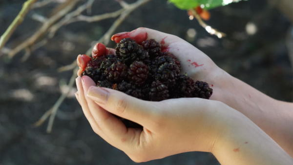 A wonderful harvest of sweet mulberries