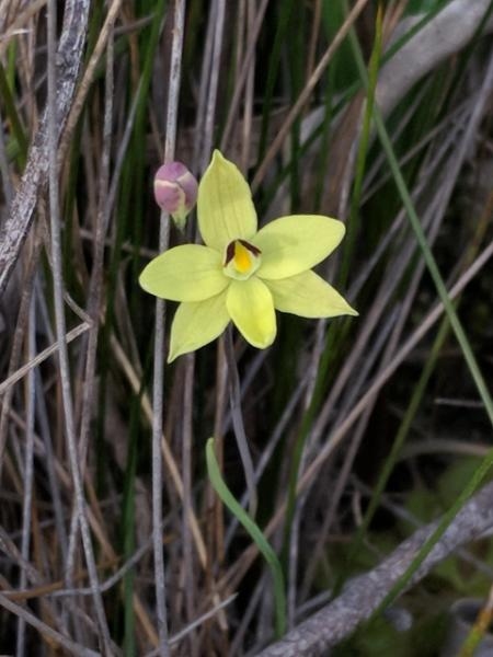 Sunflower orchid