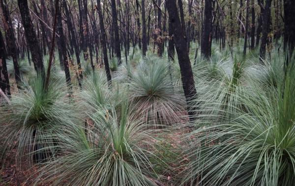 Yaccas in Deep Creek Conservation Park