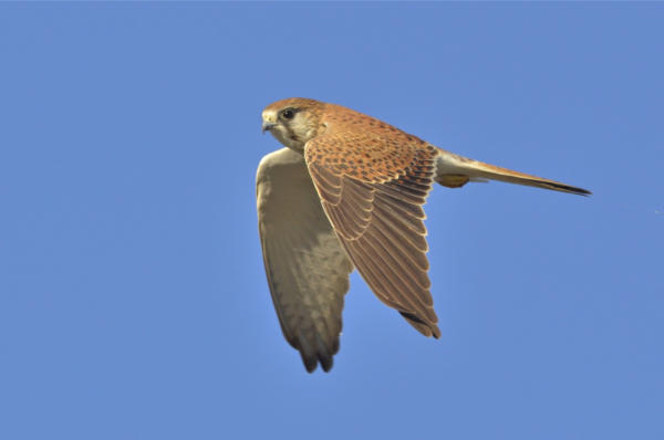 Nankeen Kestrel Birds as Poetry
